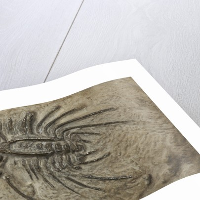A Dicranus barbarus trilobite fossil, Silurian Period. by unknown