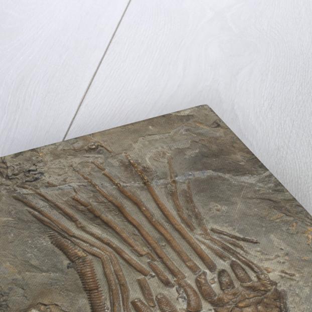 A Marsupiocrinus coelatus crinoid fossil, Silurian Period. by unknown