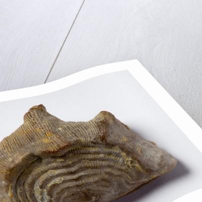 A Leptaena depressa brachiopod fossil, Silurian Period. by unknown