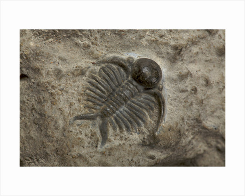 A Deiphon barrandei trilobite fossil, Silurian Period. by unknown