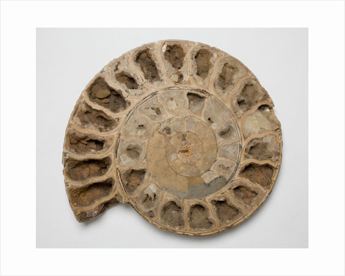 A Parkinsonia sp. ammonite fossil, Middle Jurassic Period. by unknown