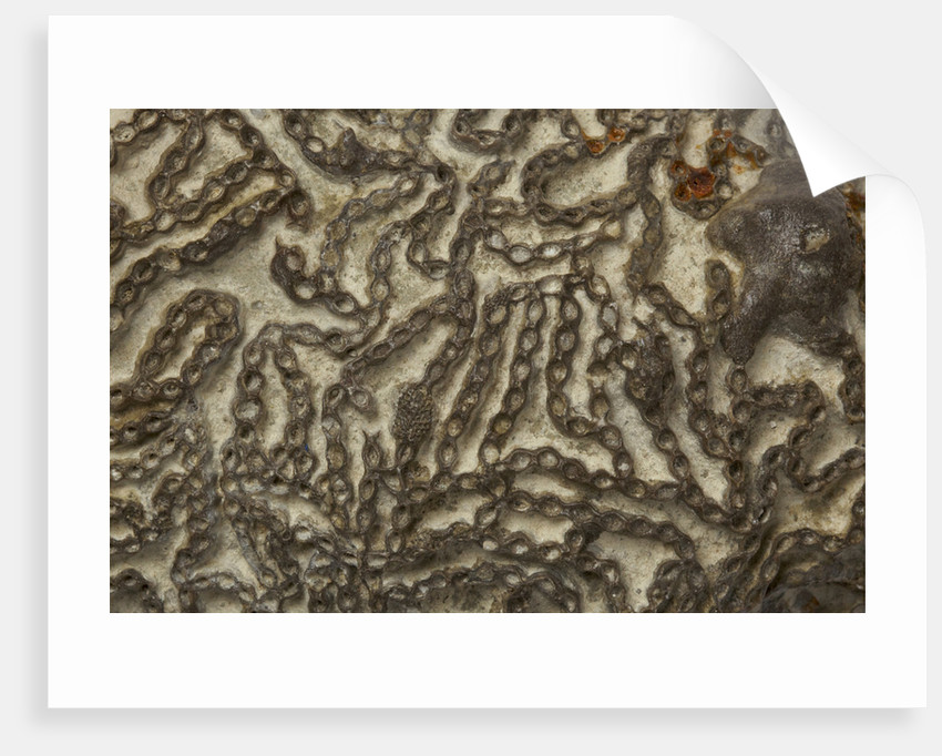 A Halysites catenularia coral, Silurian Period. by unknown