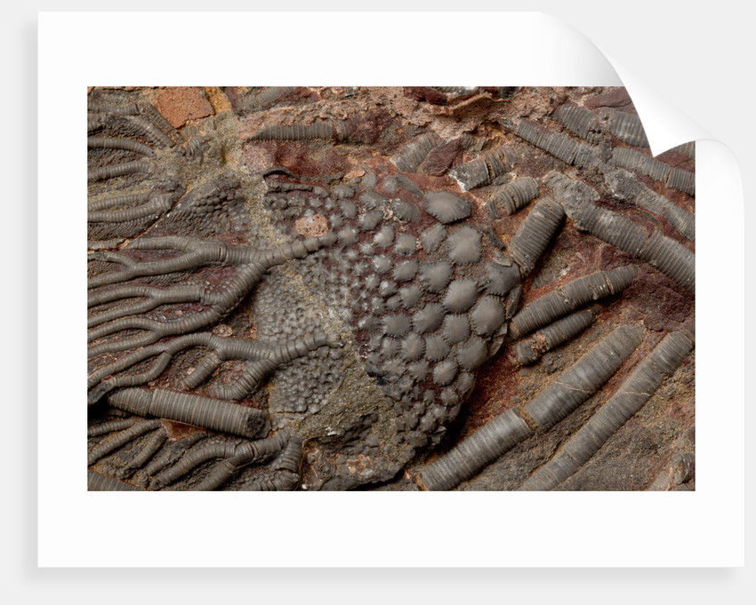 A crinoid fossil on a limestone slab, Ordovician Period. by unknown