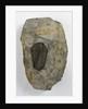 A Calymene blumenbachii trilobite fossil, Silurian Period. by unknown