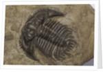A Leonaspis coronata trilobite fossil, Silurian Period. by unknown
