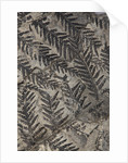 A Pecopteris plumosa plant fossil, Carboniferous Period. by unknown