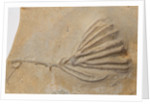 A Clematocrinus retiarius crinoid fossil, Silurian Period. by unknown