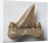 A Cretolamna appendiculata fish tooth, Cretaceous Period. by unknown