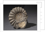 Fossilised ammonite by unknown