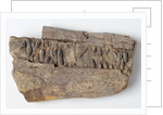 An Icthyosaurus jaw, Jurassic Period. by Anonymous