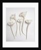 Five white china flowers, found on the site of the former police station in Goodall Street, Walsall by unknown